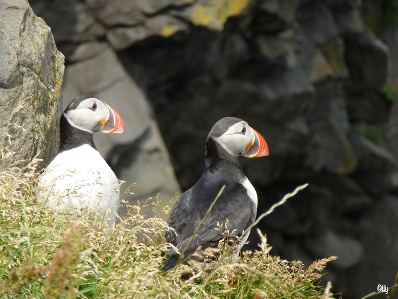 Islande_puffins_©lespetitsvoyagesdelilly